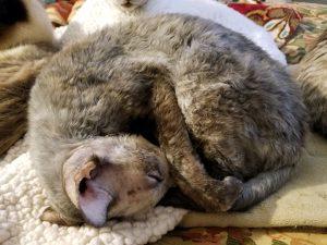 prednisolone cat dosage
